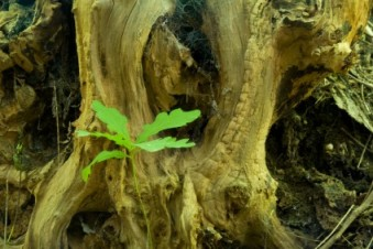 oak tree with green sprout